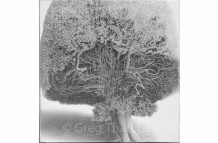 Yew Trees #108
