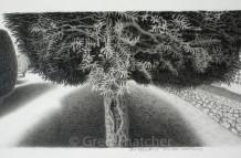 Yew Trees #105