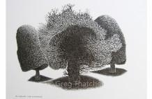 Yew Trees #67
